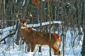 White-Tailed Buck - Photo by S. Thompson