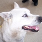 Dog Found 2012-03-20 White with Blue-Grey Eyes