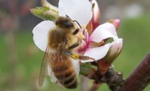 May 29:  Day of the Honey Bee